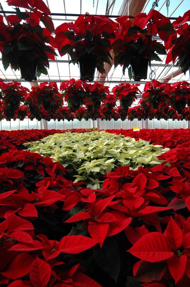Stella Di Natale Pianta Come Mantenerla.Stella Di Natale Efficace La Difesa Bio Rivista Di Frutticoltura E