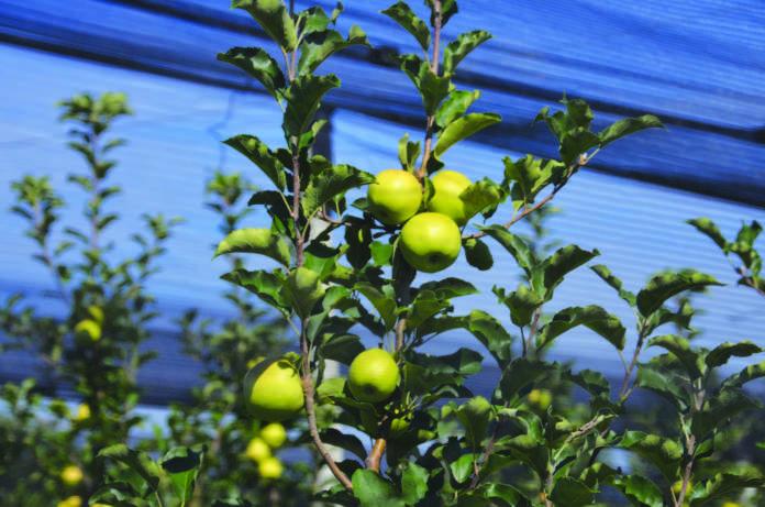 Portinnesti e allevamento del melo for Potatura del melo