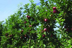 L'equilibrio vegetativo facilita la gesione del meleto