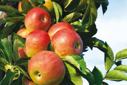 Tante nuove varietà di mele