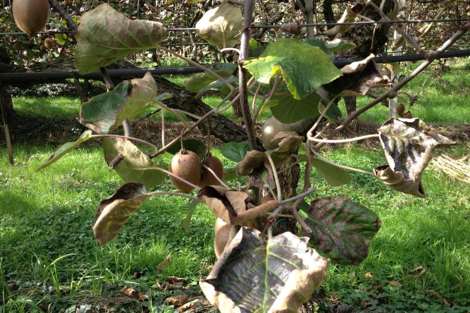 moria kiwi