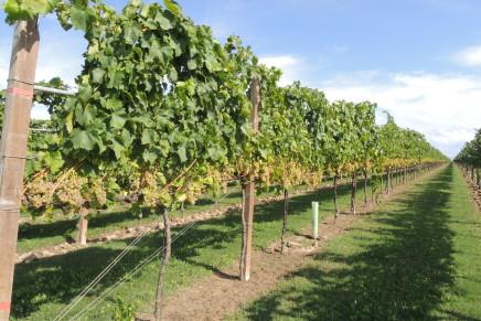 Una nuova viticoltura sostenibile con gli ibridi dell'Università di Udine
