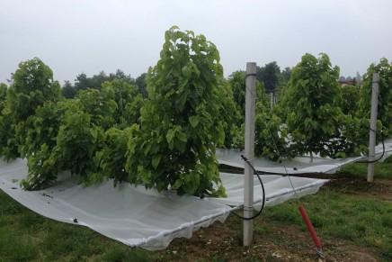 Gelso da frutto, nuova opportunità di diversificazione colturale