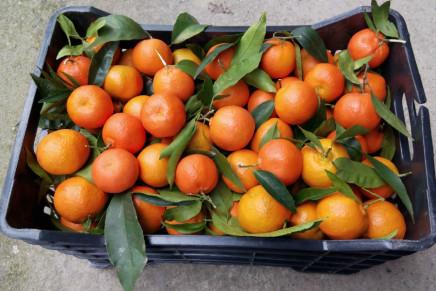 Sanzo, nuova selezione di clementine a maturazione tardiva