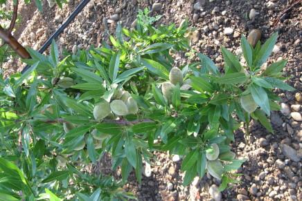 Mandorlo, valida alternativa per la frutticoltura del territorio