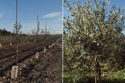Raccolta meccanica in continuo in oliveti ad alta densità