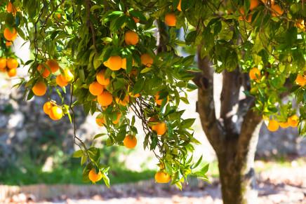 Fertilizzazione degli agrumi: la sperimentazione nel Metapontino