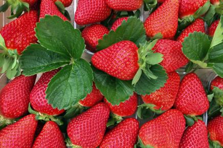 Flavia* e Flaminia*: interesse nei Paesi mediterranei  per le nuove fragole del Civ
