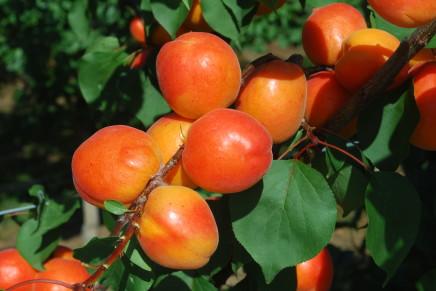 Albicocco, tra incognite produttive e criticità fitosanitarie