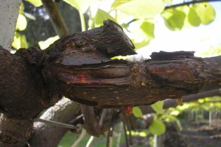 Nuovi sintomi di PSA del kiwi, si riaccendono i timori