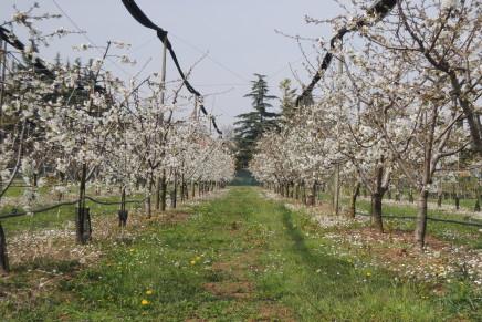I portinnesti per gli impianti nei terreni sciolti della Pianura Padana