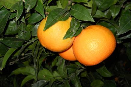 Si riaffacciano sul mercato le arance Navel