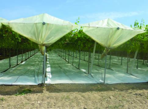 Potatura e forme di allevamento rivista di frutticoltura e ortofloricoltura - Potatura uva da tavola ...