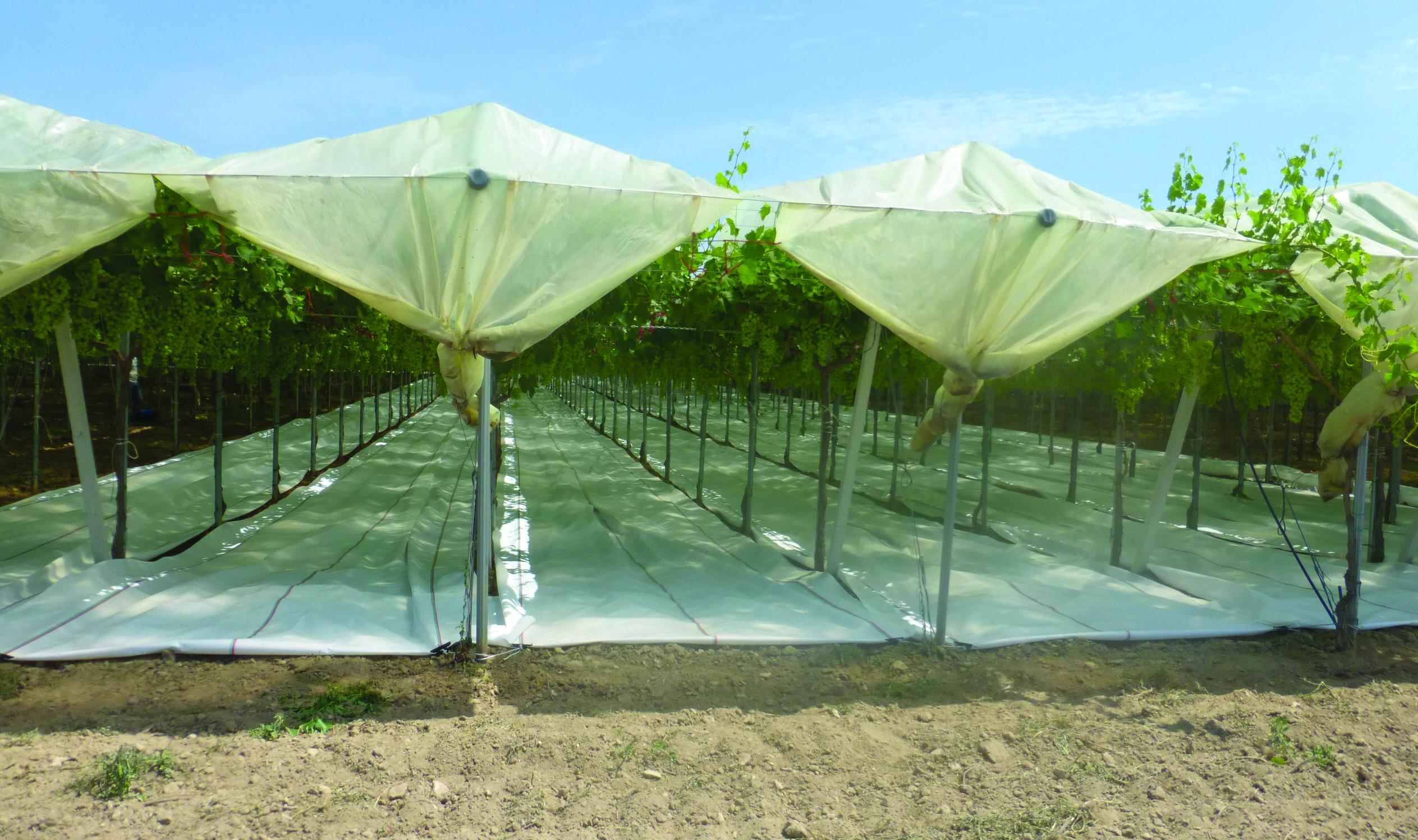 Uva da tavola le tecniche colturali per produrre di pi e - Uva da tavola coltivazione ...