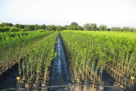 Primo bilancio sui nuovi portinnesti  degli agrumi introdotti in Basilicata