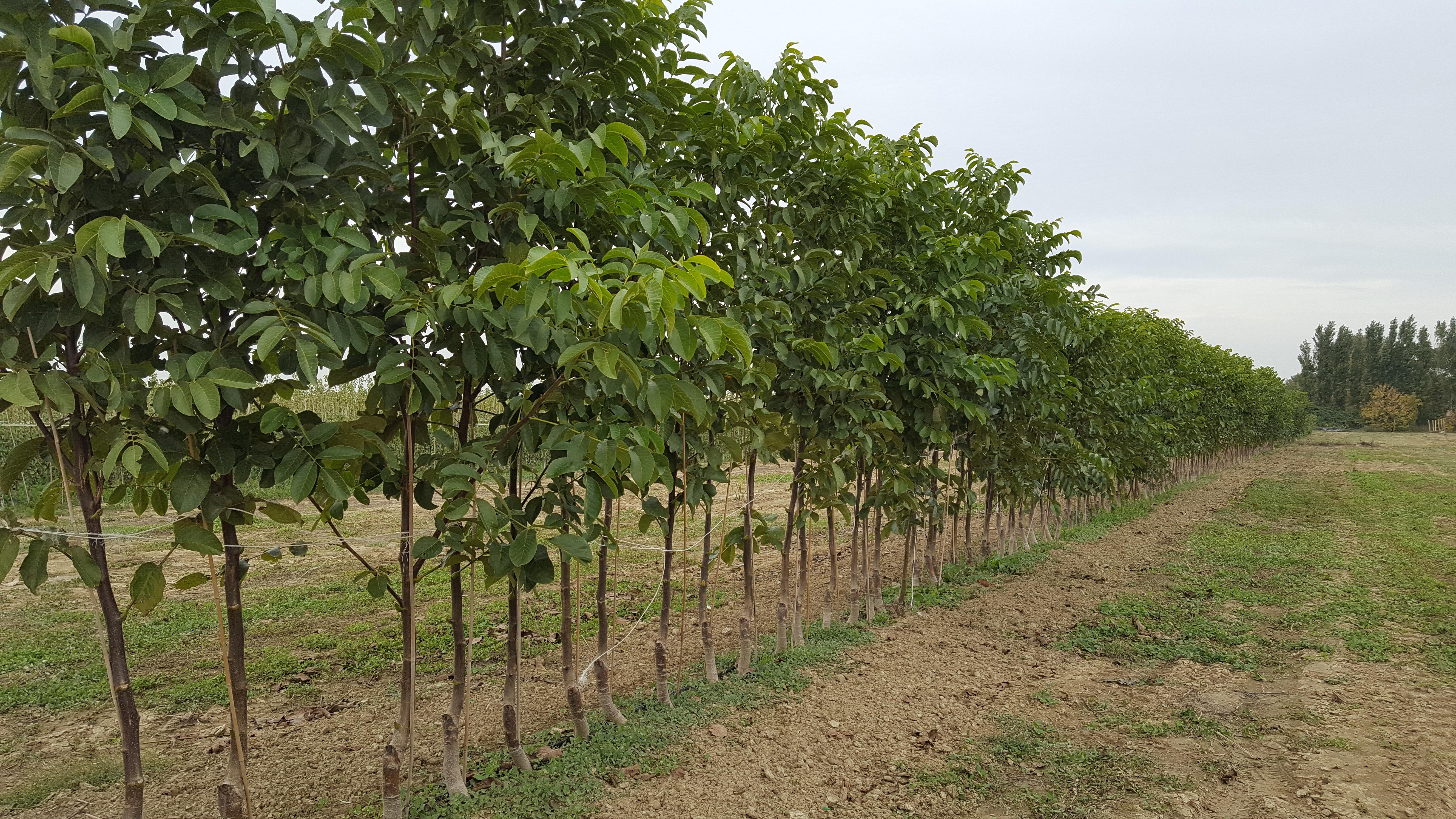 evolve la coltivazione del noce rivista di frutticoltura