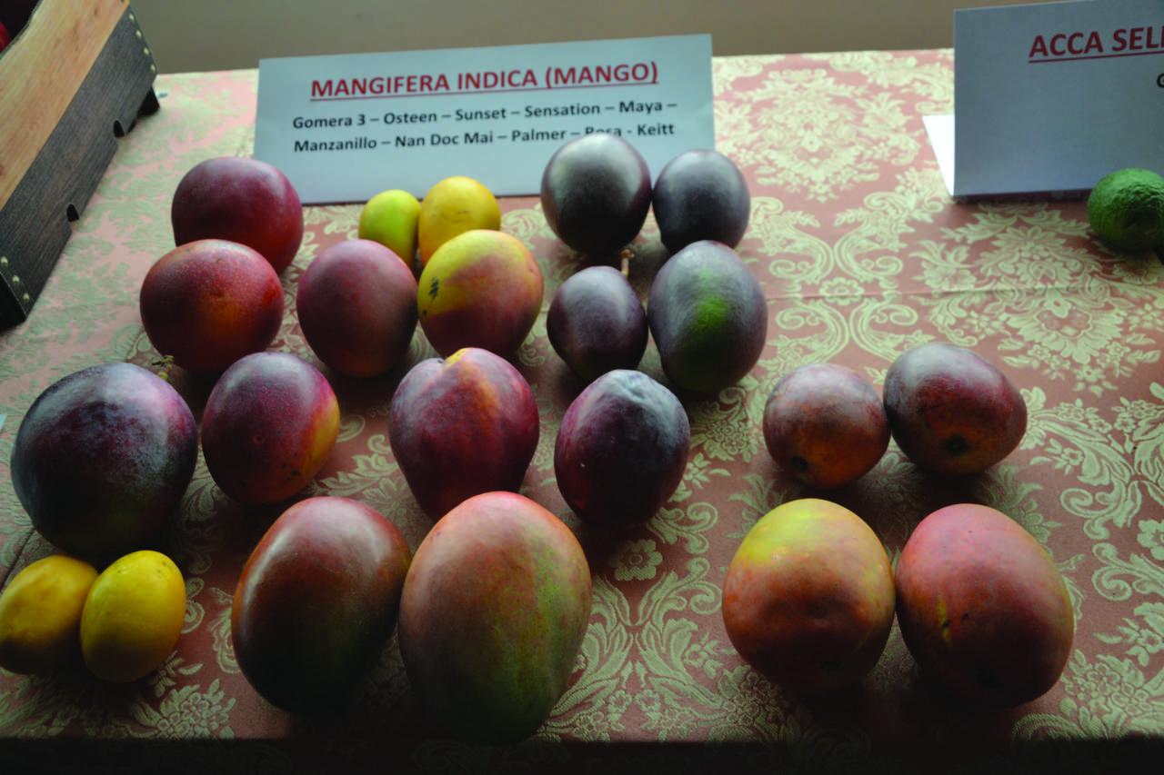 Come Piantare Il Mango continua l'interesse per una frutticoltura alternativa con