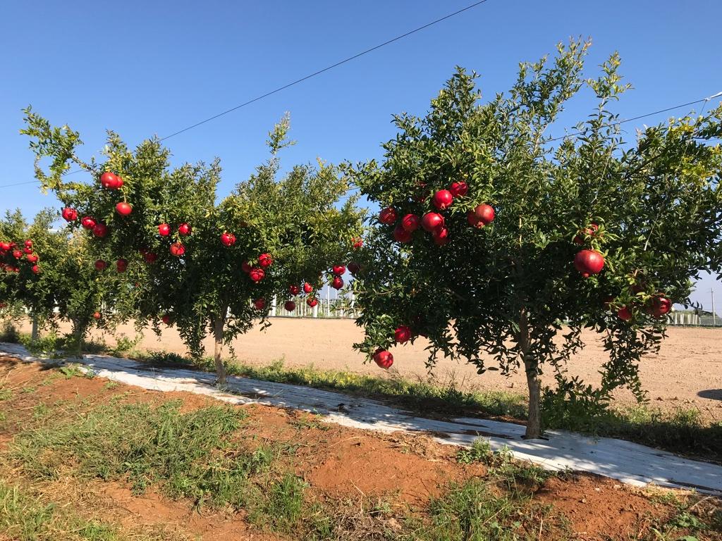 Piante Da Frutto Sempreverdi melograno, potenzialità e limiti di un antico frutto italiano