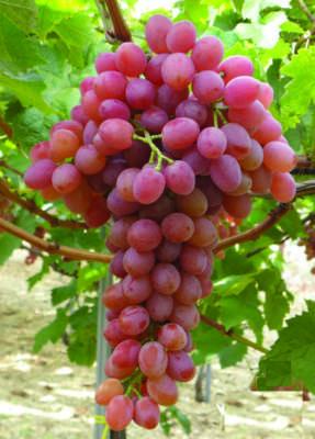 1 Pianta di Uva Tavola Bianca Italia maturazione pianta ad agosto