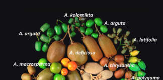 actinidia