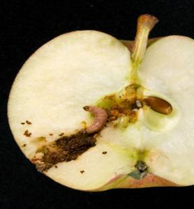Larva di carpocapsa su melo