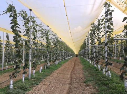 innovazioni varietali kiwi