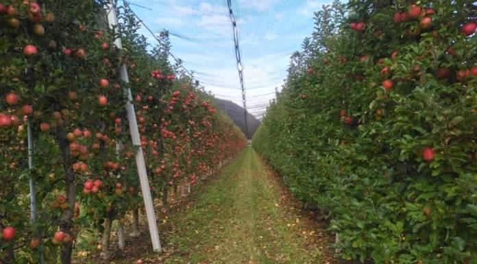 colorazione frutti melo