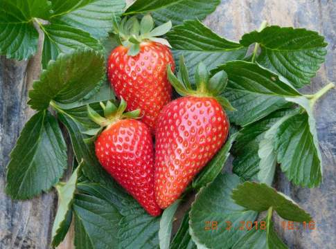 fragola Parthenope