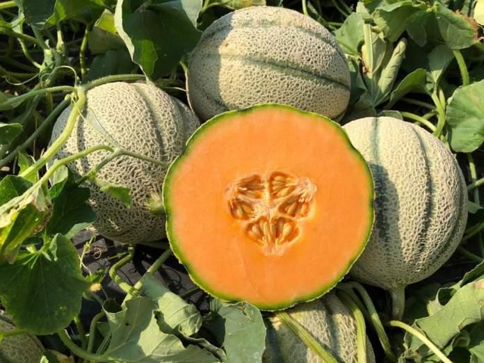 novità melone e anguria