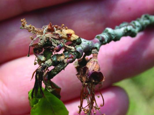 moniliosi albicocco