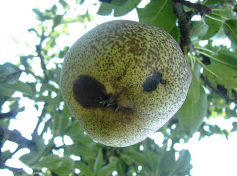 maculatura bruna su mela