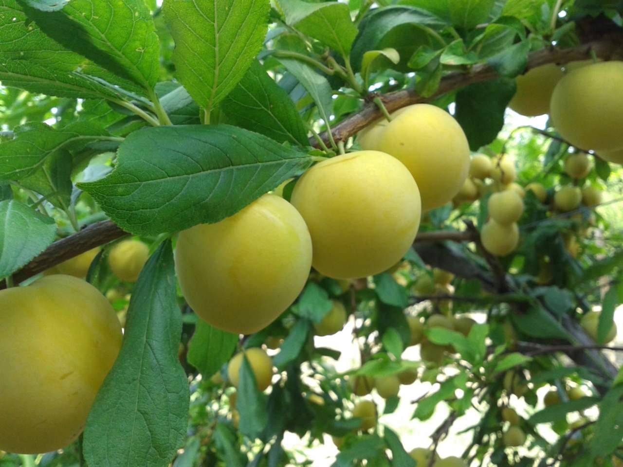 rinnovo varietale