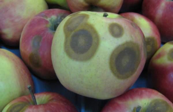 marciumi del melo