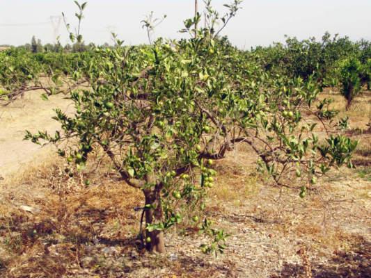 agrumicoltura breeding