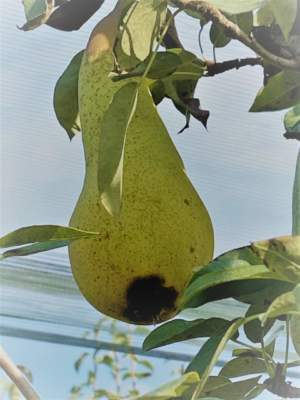 tecnologie emergenze frutticoltura