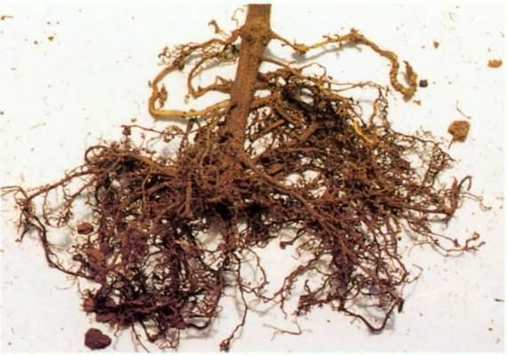 funghi micorrizici