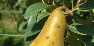 maculatura bruna