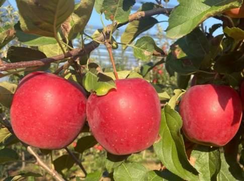 produzione mele